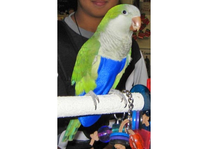 Как сделать воротник для попугаев 466